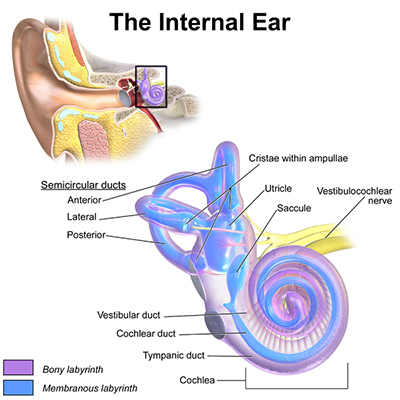 The Inner Ear Anatomy